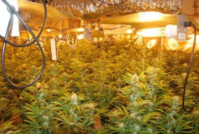 Cultivo Hidroponico De Marihuana